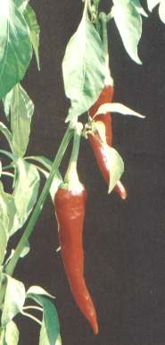 Capsicum annuum: European spicy paprika