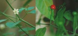 Capsicum annuum: Chiltecpin, flower and fruit