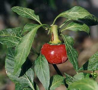 Capsicum annuum: Hungarian cherry pepper