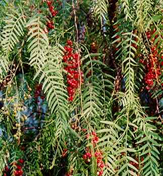 Schinus molle: Fruiting Pink Pepper Tree